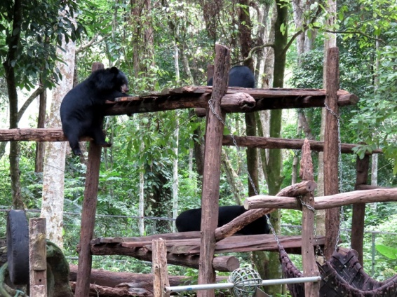 The rescued sun bears enjoying themselves at the conservation centre