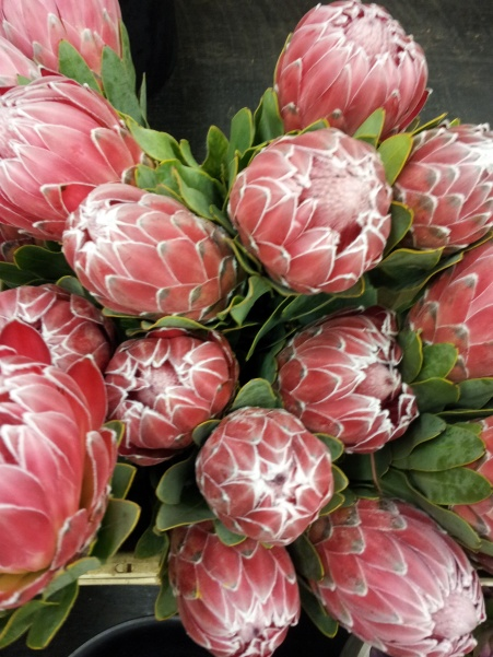 protea-pink-fluffy